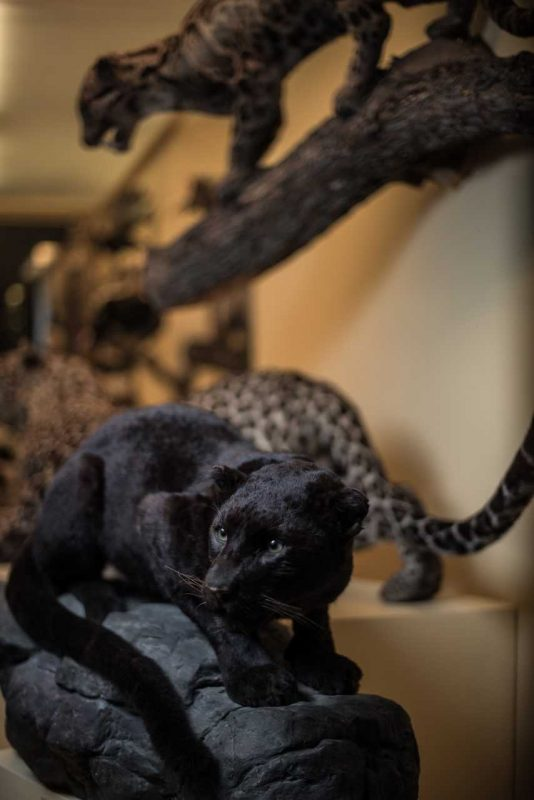 Raubkatzen, Haus der Natur